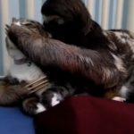 脅されてる?!ナマケモノの鋭い爪でヒヤヒヤする猫