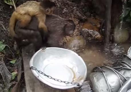 人間の真似をして食器洗いをする猿