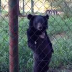 すました感じで二足歩行する熊