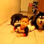 ハイハイの練習を一緒にしてくれる犬達がカワイイ!
