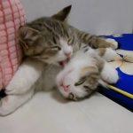 ペロペロ、ギュ〜!妹が好きでたまらない子猫