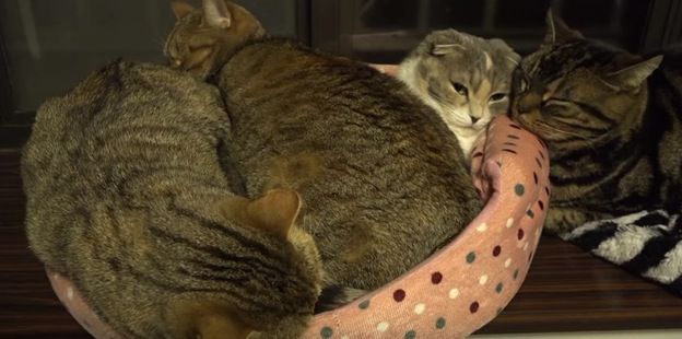 大きくなっても子供は子供。母猫のお腹の上で寝る子猫?たちにお母さんタジタジ
