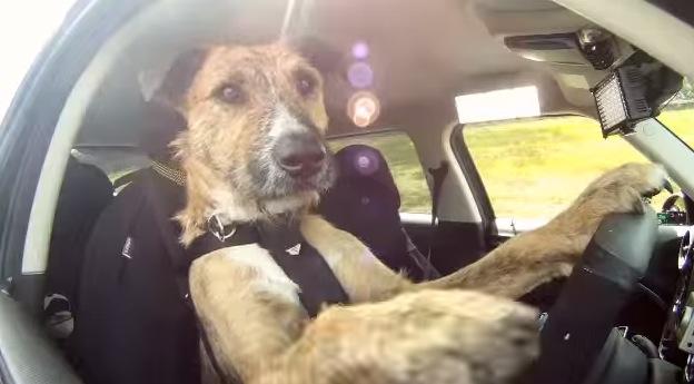 犬も車で移動するようになる!?犬が車を運転している動画