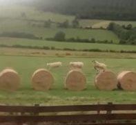 牧草ロールの上でピョンピョン遊ぶ子羊にほのぼのする動画