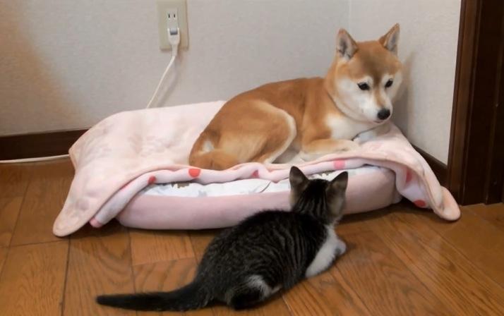 子猫が見つめる先には。。。いつも柴犬がいた!
