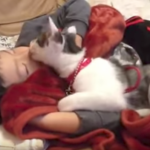 寝ている男の子をペロペロ・ハムハムする猫ちゃんの動画