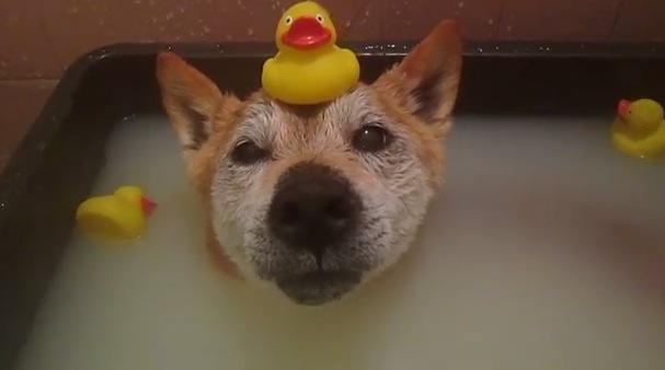 わわん♪わわん♪わん♪わん♪♨ 温泉が好きな犬の動画