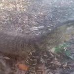 野生のオオトカゲに肉を与えたら手まで持っていかれそうになった動画