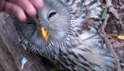 フクロウ好きにオススメ!フクロウのカワイイところが集約された動画集