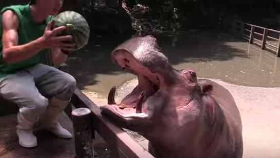 スイカ汁ぶしゃー!!カバがスイカを丸ごと食す動画