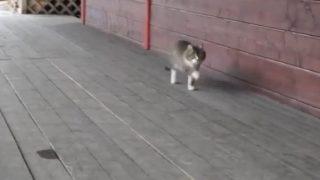 スキップ?!変な歩き方の猫がいる!