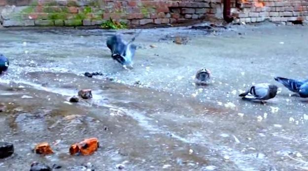 もどかしい!鳩が氷上で餌を食べようとしたら。。