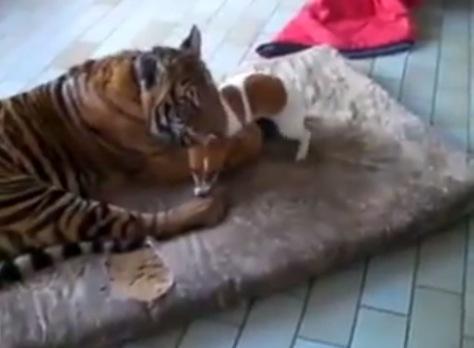 虎のことが好きで好きでたまらん犬の動画