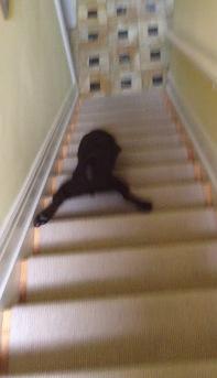 斬新!犬が階段を素早く降りる方法とは?!