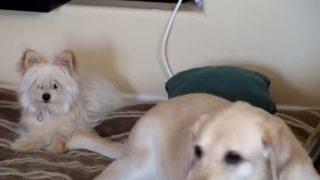 大型犬のしっぽで往復ビンタを喰らわされた小型犬