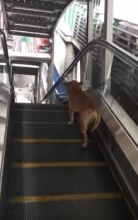 『エスカレーター』を『ランニングマシーン』の代わりにしている犬