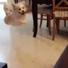 はずかしいっっ!ワンちゃんがジャンプで見事にぶっコケる動画