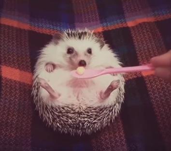 目の前にリンゴを差し出すとウキウキになる子ハリネズミが可愛い!