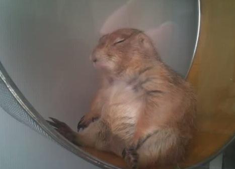 睡魔と戦うプレーリードッグがカワイイ!