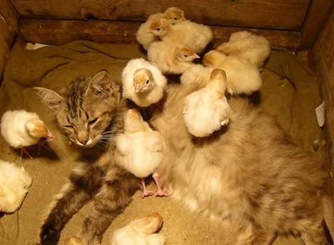 猫がヒヨコにいじめられている!?ドM猫とヒヨコ達の動画