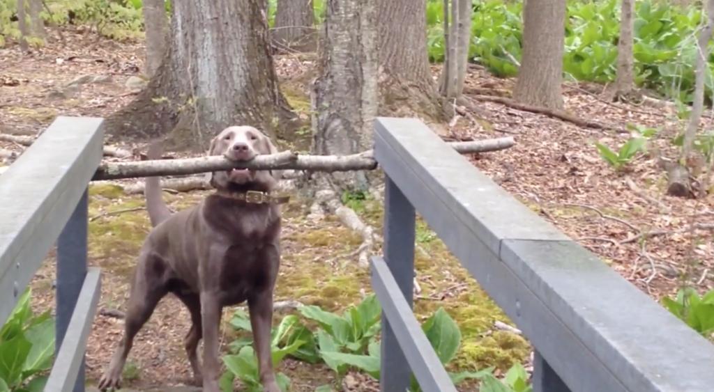 長い棒を咥えて橋を渡りたいけど渡れない犬の葛藤が可愛い!