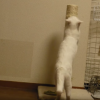 『攻撃じゃないよ爪研ぎだよ』ごまかす猫