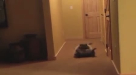 開脚前転が連続でできるアライグマの動画