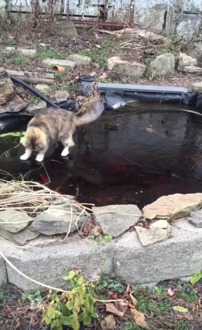 氷上でツルツルしながら鯉を狙う猫ちゃん