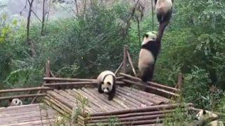 木に登ろうとする仲間をたたき落とすパンダ