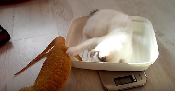 トカゲが大好きな子猫がカワイすぎる!