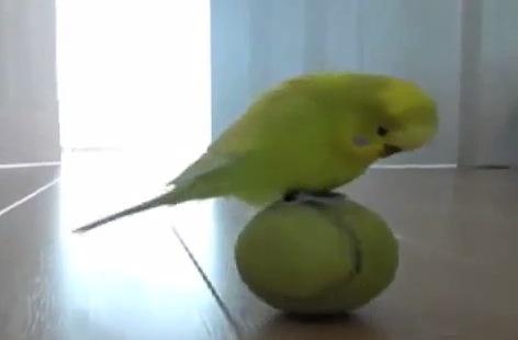玉乗り練習に励むインコの動画