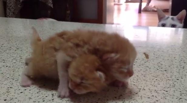 子猫が可愛すぎて悶絶している猫が面白い!
