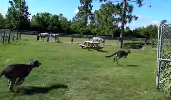 異種の壁など関係ない!犬とカンガルーが仲良くジャレ合っている動画