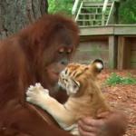 赤ちゃんトラのお世話をするオラウータン