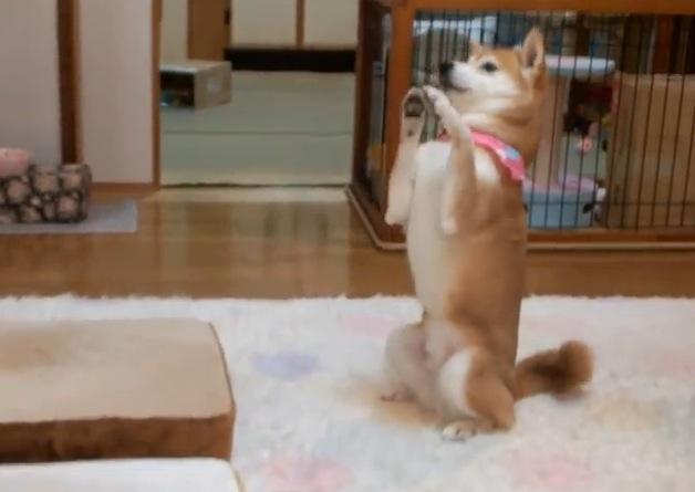 ツンデレ子猫と柴犬の探り合いがカワイイ