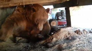 ベランダの下に巨大な熊さんが住み着いていたという恐ろしい動画