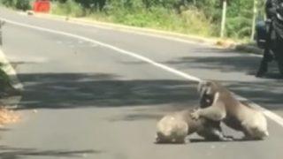 道路で取っ組み合いの喧嘩をしているコアラ