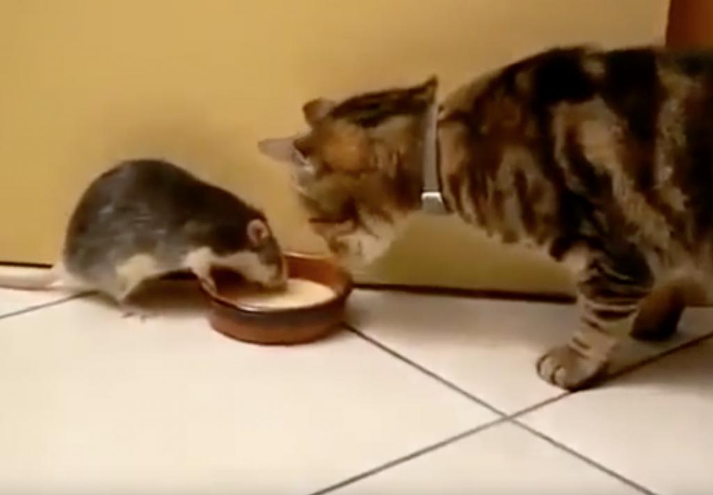 ミルクを巡る熱き闘い!猫VSネズミの白熱の攻防戦