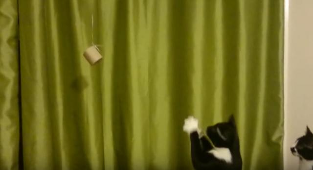 手の届かない物に四苦八苦してる姿が可愛い猫