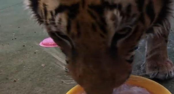 大迫力!!飼い虎が勢いよく餌に駆け寄る姿が。。おそろしい