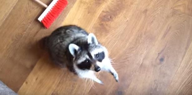 アライグマが床を洗っている動画