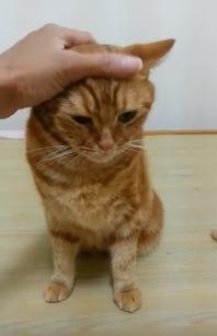 鼻に綿棒を乗せたまま「待て」ができる猫