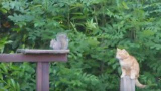 窮栗鼠、猫を噛む。