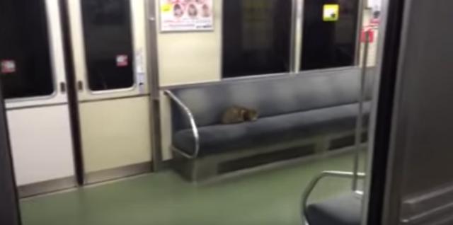 電車で放浪中?!の猫と乗務員の攻防戦