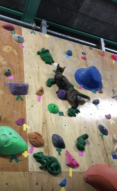 クライミングに挑戦する猫
