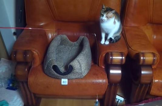 """猫に""""猫じゃらし""""で遊ばれている猫"""