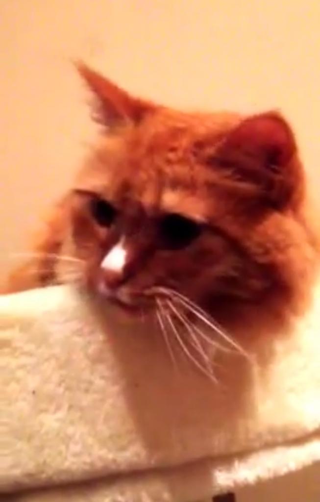 テープの『ベリッ!』って音がすると舌をべーと出す猫がカワイイ