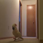 テンション高めで廊下を歩き回るオウム