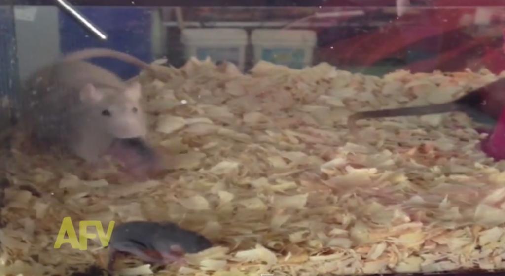 子ネズミの寝床で対立している父ネズミと母ネズミの動画