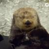 氷を貝のように食べてビックリして寝落ちするラッコの動画